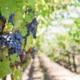 Vigne et grappes de raisins